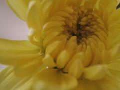 change my heart (Jus.) Tags: flowers sun photography blackwhite aperture focus clones zippers rosses happyflowers artofphotography