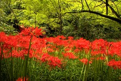 Red Spider Lily in Japan 1 (kurokojpn) Tags: flowers japan tokyo orlando   saitama hdr lycorisradiata kuroko redspiderlily canon40d photosjapan kuroko01 kurokoshiroko photographytokyo photostokyo bestoftokyo tokyobest orlandojpn thetokyopost kurokojpn