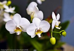 Phalaenopsis Orchid (inspir8tion) Tags: sanfrancisco california orchid farmersmarket vivid fresh embarcadero marketplace produce organic phalaenopsisorchid