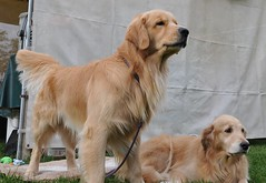 pair of Goldens