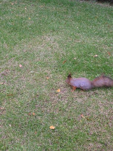 Orava nurmella katselemassa vasemmalle