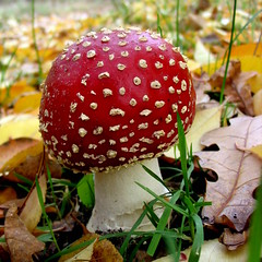 Little Red Riding Hood (eowina) Tags: autumn nature mushroom amanitamuscaria amanita fliegenpilze fliegenpilz muchomor muchomorczerwony muchomory 100commentgroup
