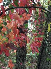 virginia creeper (aluminum ghost) Tags: nature virginia hiking autumnleaves waterfalls shenandoah nationalparks naturephotography shenandoahnationalpark rockpiles lukeweichmann