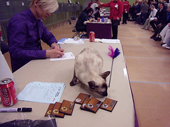 Lalaith at the jude's table (af_foto) Tags: siamese catshow lalaith