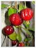 Pitanga preta/rubra (Jessica Aquino) Tags: frutas pitanga naturesfinest goldenglobe fruticultura natureplus anawesomeshot ahqmacro fotoğrafevi minhasfotossãosinestésicascomenteassuaspreferidas pitangapreta brazilianpitanga atravésdaminhalentethroughmylenspost1award3