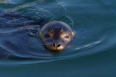 Spotted (Kirsten M Lentoft) Tags: water denmark head seal esbjerg akvarium naturesfinest blueribbonwinner supershot mmmmmmuahh kirstenmlentoft sealarium bighugstomydearestfriend