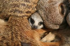 Meerkat Daisy: Sister of Chester (Brightway Photography) Tags: africa animal meerkat small afrika erdmnnchen suricatta carnivora suricata manguste surikaten