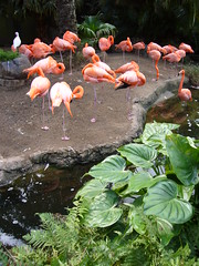 Flamingos in Audubon Zoo