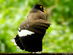 Opera Singer.. (Anish Krishnan [anishk.in]) Tags: india bird birds kerala common myna