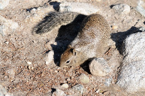 ground squirrel2