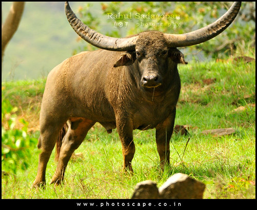 Feral Buffalo
