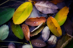 Autumn leaves (te.esce) Tags: autumn nature leaves droplets leaf drops nikon herbst natur autumncolours   herbstfarben blatter tsphotography