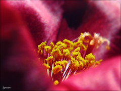 Absolute beginners (Gigio Schwarz) Tags: red flower macro nature yellow closeup canon close natureza flor vermelho amarelo 1001nights onzehoras supershot flowerotica moosrose canonpowershots5is s5is canons5is