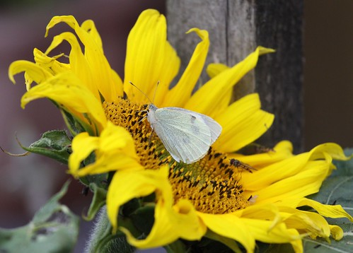 White Butterfly on Sunflower