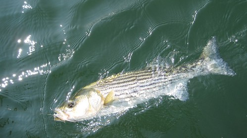 Fly fishing for stripers