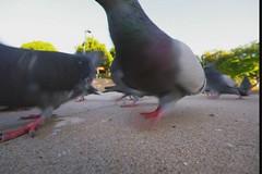 Pigeons (nebarnix) Tags: birds animals bread video wildlife pigeons feed