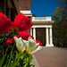 Showalter Tulips-2