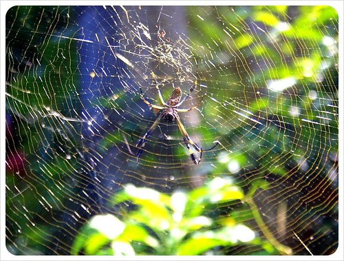 Golden Orb spider web Costa Rica