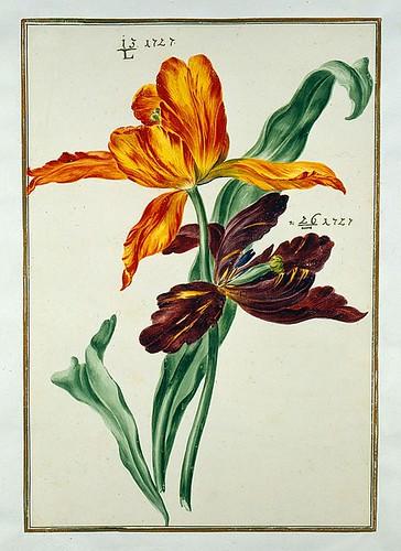 006-tulipan6-Karlsruher Tulpenbuch - Cod. KS Nische C 13- Badische LandesBibliotheK