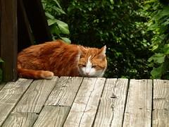 didjie fails to find chipmunks (again) (giolou) Tags: orange plants silly green cat media pennsylvania hunting deck fail justlooking didjeradoo snifer