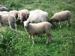 Sheep 201: Lamb marketing