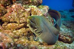 080217_Socorro-24-12x18.jpg (JenFu) Tags: ocean travel sea fish green horizontal underwater pacific scuba diving adventure explore tropical eel cheng moray cabosanlucas traveler jenfu archipielago solmar revillagigedo solmarv