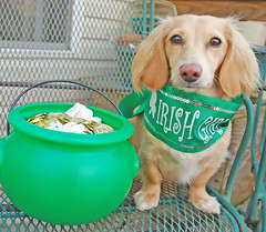 Irish Girl (Doxieone) Tags: irish dog cute green english girl gold long banner cream dachshund pot deck honey porch blonde haired coll longhaired honeydog englishcream halloweenfall2008set