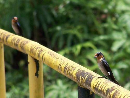 Pasific Swallow @ Layang-layang Pasifik/Batu (Malay)