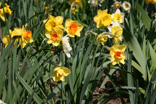 A bunch o' daffodils