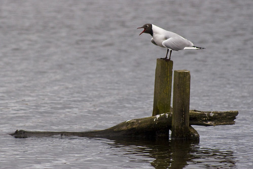 Leighton Moss RSPB Reserve: Black-headed gull