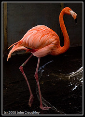 Flamingo at Swansea March 2008