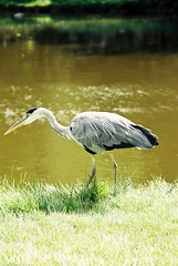 Fauna de Holanda (chasquito el roncoso) Tags: stream more views willy 15000 llus