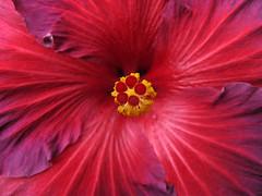 heres looking at you (tonyanthonye) Tags: philadelphia gardens pennsylvania hibiscus philly longwood