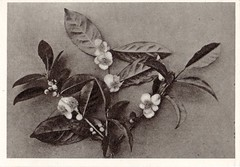 Old tea plant picture on Flikr