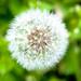 dandelion -effect-