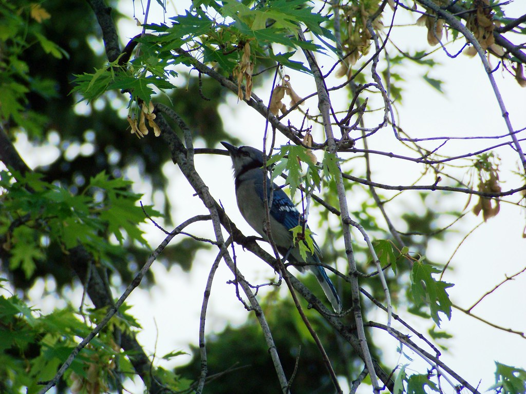 Mr. Blue Jay under a very large canopy of seeds