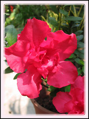 Rhododendron simsii (Indoor/Indian Azalea or Azalea indica)