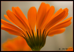 Where would a girl be without her Marigolds? (Jay Bees Pics) Tags: flowers orange garden ngc 2008 marigold takeabow naturesfinest calver supershot masterphotos golddragon mywinners abigfave ourplanet diamondclassphotographer flickrdiamond theenchantedcarousel awesomeblossoms 100commentgroup