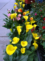 (= Steph =) Tags: flowers colourful queenstreetwest callalily
