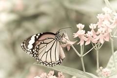 butterfly 2 (pedlar2005) Tags: photofaceoffwinner pfogold