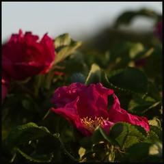 Evening rose (Kirsten M Lentoft) Tags: pink sunset wild flower rose firstquality momse2600 diamondclassphotographer flickrdiamond life~asiseeit trueessence multimegashot mmmmuuuahhhhh kirstenmlentoft