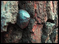 MacroTextura. (Errlucho) Tags: macro textura árbol corteza clavo