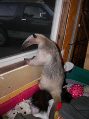Anteater in the window