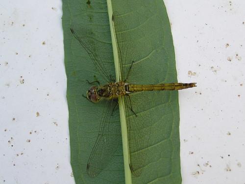 Sudenkorento katsoo kohti hihaan nojaillen