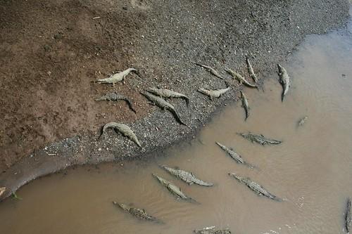 Una familia de cocodrilos tomando el sol
