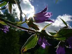 buongiorno! - bonjour! (perplesso42) Tags: flowers parco slovenia sensational fiori picturesque bonjour triglav buongiorno bovec nazionele zabrajda plezzo excapture wonderfulworldofflowers gfeffe