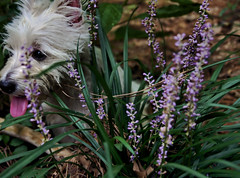 Behind Her Purple Veil of Monkey Grass (StormyinGA) Tags: purple katie westie hiding monkeygrass muscari dogdays playingoutside playingtag stormyinga