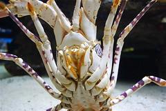 Two Oceans Aquarium 4 (Xevi V) Tags: animals southafrica capetown shellfish lobster crustacean twooceansaquarium llagosta sudfrica crustacis artrpodes mmmilikeit
