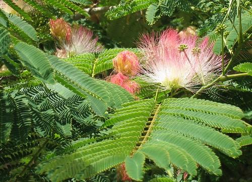 Idee kleine japanse tuinen : Perzische slaapboom (Albizia julibrissin) : MijnTuin.org