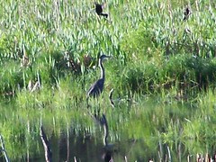 great blue heron mobbed by blackbirds - 2